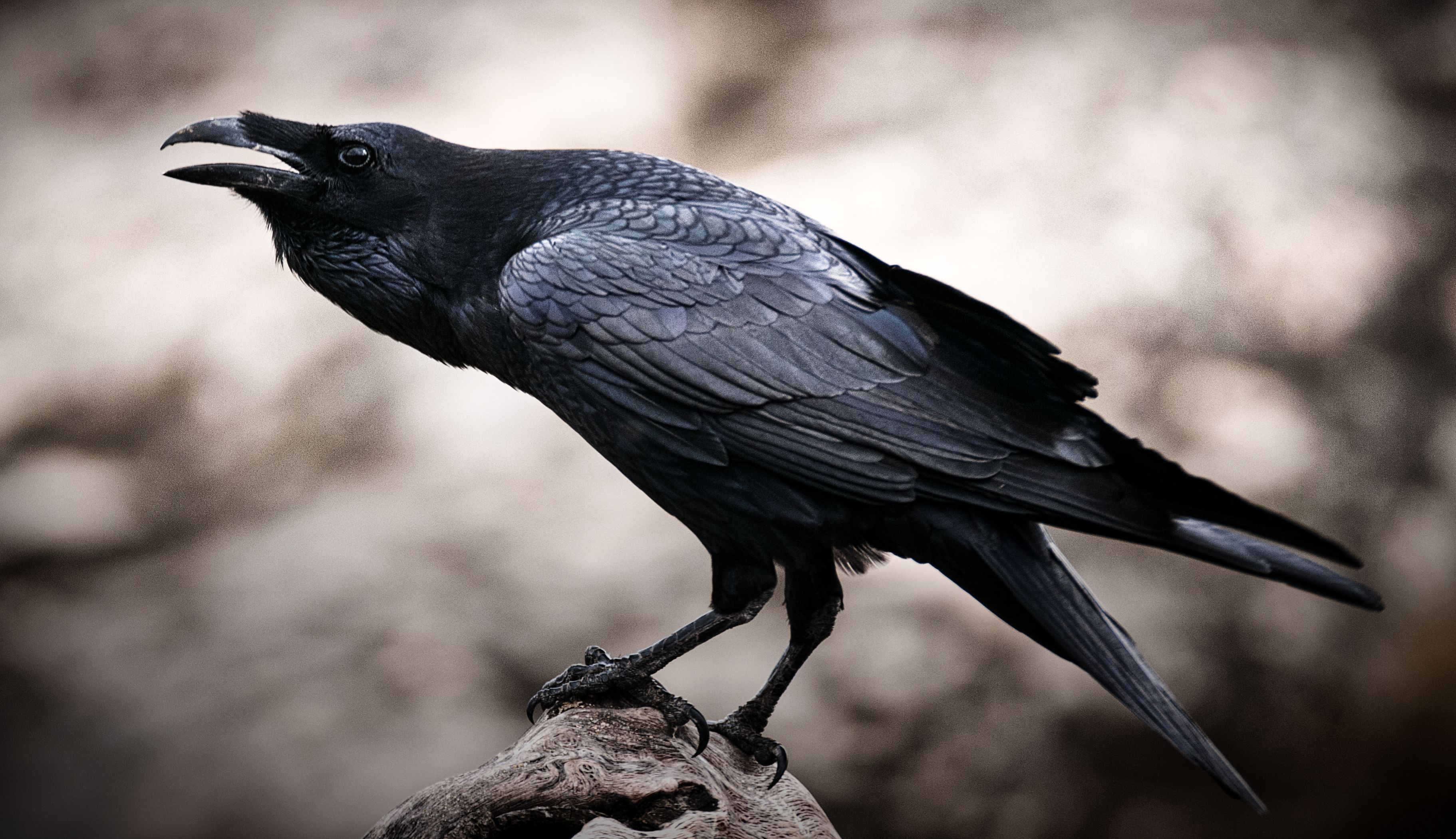 Raven - Corvus corax,   portrait and social behavior