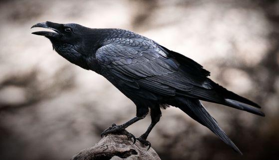 Raven - Corvus corax,   portrait and social behavior